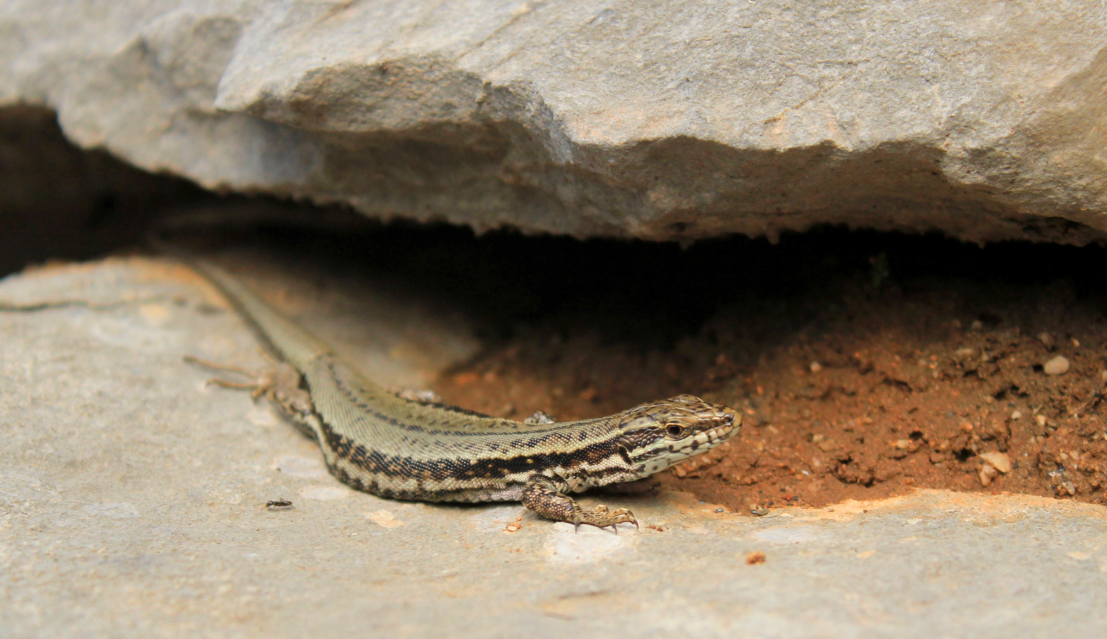One of the few photographs I managed to get before he slithered back underneath the rock