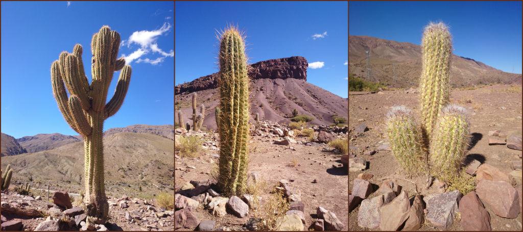 Cactus Uyuni - Potosi